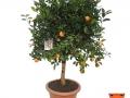 Citrus Mitis | Calamondino | VASO 30