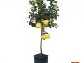 Citrus Paradisi | Pompelmo | VASO 35