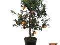 Citrus Reticulata | Mandarino | VASO 30